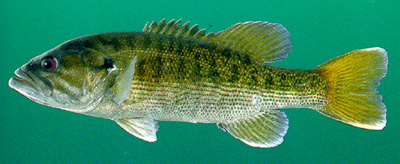 Fish Species Known As The Black Bass Family